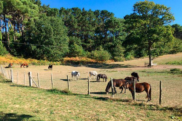 Les chevaux et les poneys dans les prairies du domaine